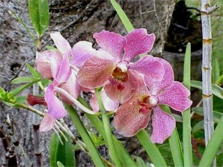 Purple Vanda Orchids, Kaneohe, Oahu, Hawaii picture taken by ATAH.NET photographer for www.digital-picture-gallery.com